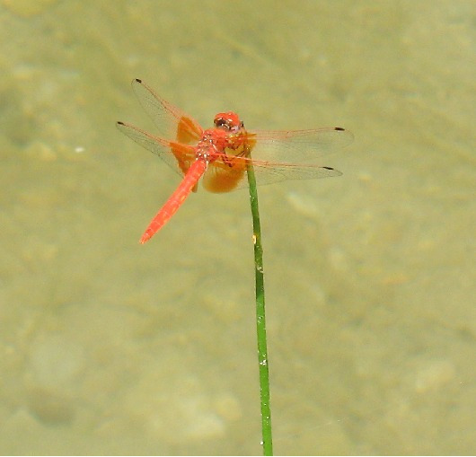 Rare and beautiful dragonfly